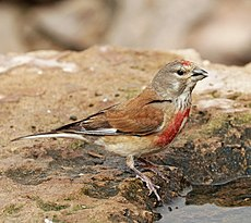 Common linnet (Linaria cannabina mediterranea) male.jpg