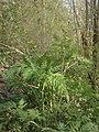 Conium maculatum plant (27).jpg