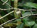 Contopus virens (Atrapamoscas oriental) (14338467346).jpg