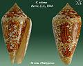 Conus telatus 3.jpg