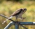 "Cooper's Hawk - Flickr - island deborah- New Book ""Song of the Sparrow"" vig.jpg"