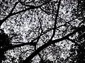 Copa da árvore do Angico vermelho (Anadenanthera peregrina)..jpg
