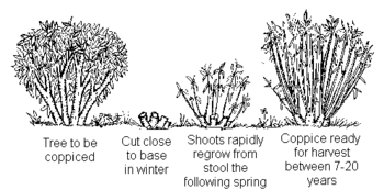 Diagram of Coppicing