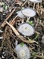 Coprinopsis lagopus 74022012.jpg