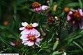 Coreopsis rosea Heavens Gate 1zz.jpg