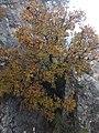 Cornicabra - Pistacia terebinthus L. - IMG 20181117 121640.jpg