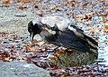 Corvus cornix (15743089355).jpg