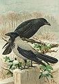 Corvus cornix (PD).jpg