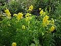 Corydalis lutea 2.JPG