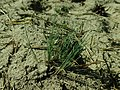 Corynephorus canescens 2019-03-30 8760.jpg