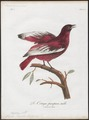 Cotinga pompadora - 1801 - Print - Iconographia Zoologica - Special Collections University of Amsterdam - UBA01 IZ16600099.tif