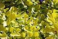Cotinus coggygria Golden Spirit 1zz.jpg