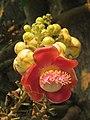 Couroupita guianensis - Cannon Ball Tree at Peravoor (37).jpg