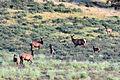 Cow Elk & Calves, Valles Caldera.jpg