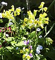 Cowslip (Primula veris) - geograph.org.uk - 1273589.jpg