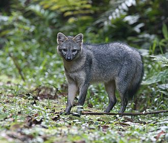 Crab-eating fox - Cerdocyon thous from Colombia