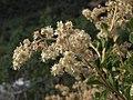Creambush, Holodiscus microphyllus (23531973063).jpg