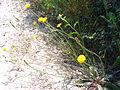 Crepis capillaris Habitus 2009May01 DehesaBoyaldePuertollano.jpg