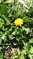 Crepis foetida plant (17).jpg