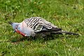 Crested Pigeon (30461090711).jpg