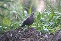 Crested Quail-dove 2506945512.jpg