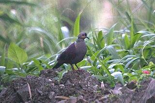 Quail-dove genus of birds