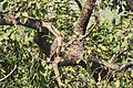 Crested serpent eagle at Chitwan National Park (1).jpg