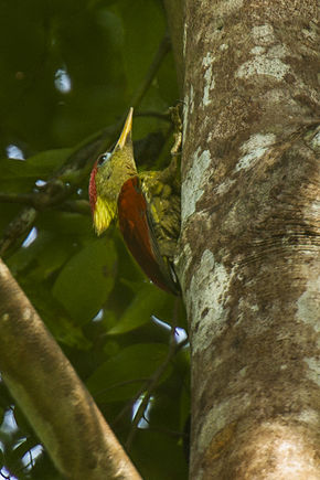 Description de l'image Crimson-winged Woodpecker - Thailand H8O6941 (16222876028).jpg.