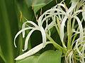 Crinum asiaticum-IMG 4494.jpg
