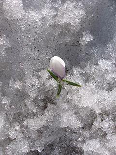 Crocus nella neve