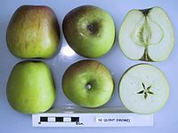 Cross section of De Quint, National Fruit Collection (acc. 1948-306).jpg