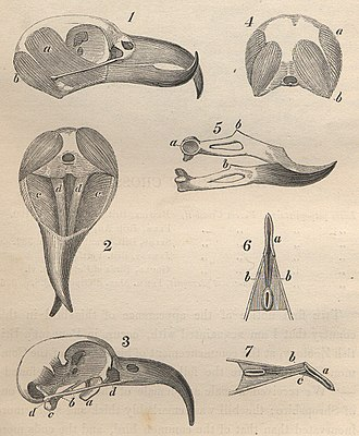 Natural Theology or Evidences of the Existence and Attributes of the Deity - Red crossbill skull and jaw anatomy from William Yarrell's A History of British Birds; the crossbill's beak is cited by Paley as being well-suited to its function.