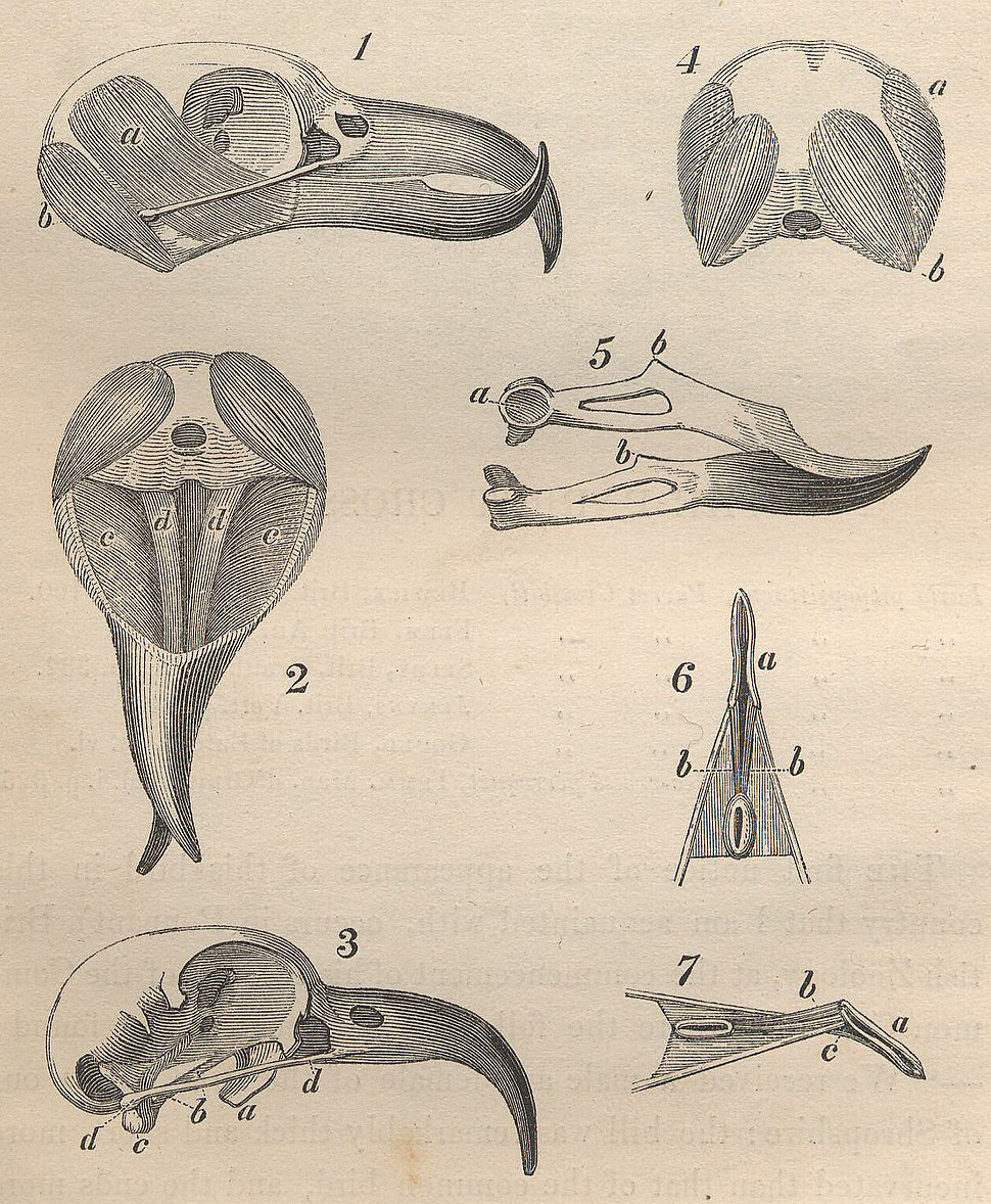 Crossbill skull and jaw anatomy from Yarrell History of British Birds 1843 (detail)