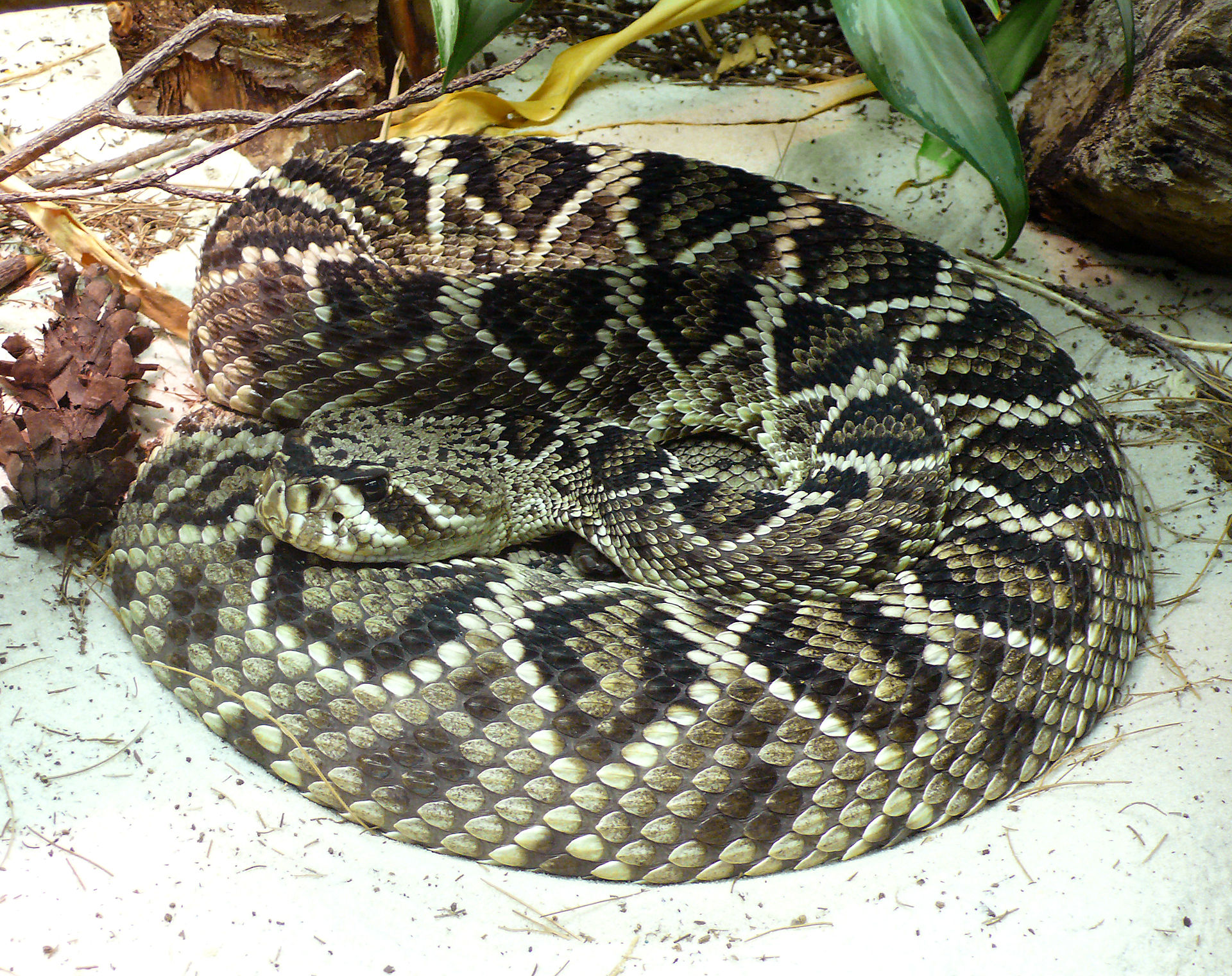 Eastern Diamondback Rattlesnake