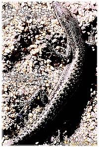 Cryptoblepharus boutonii IlePlate 1987