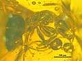 Ctenobethylus goepperti NHMW1984-31-215 profile.jpg