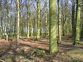 Culpits Plantation north of Hindolveston - geograph.org.uk - 368432.jpg