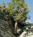 Cupressus sempervirens Kaunos.jpg
