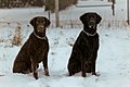 Curly Coated Retrievers.jpg