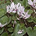 Cyclamen.persicum.7086.jpg