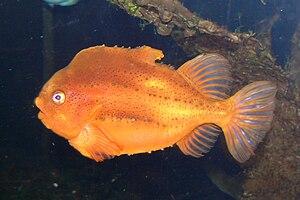Cyclopterus lumpus - Males are orange-reddish during the breeding season