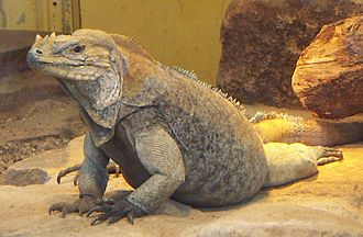 Cyclura - Cyclura cornuta, rhinoceros iguana