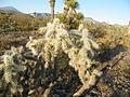 Cylindropuntia tunicata (5716858940).jpg