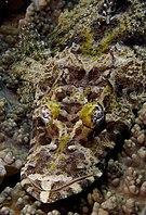 Cymbacephalus beauforti Crocodilefish Papua New Guinea by Nick Hobgood.jpg