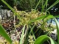 Cyperus javanicus inflorescence 1.jpg