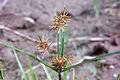 Cyperus odoratus NRCS-1-cropped.jpg