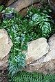 Cyrtomium falcatum 'Rochfordianum' - Brooklyn Botanic Garden - Brooklyn, NY - DSC07981.JPG