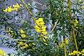 Cytisus x spachianus 9zz.jpg