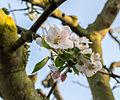 Dülmen, Blüte des Apfelbaums -Dülmener Rose- -- 2014 -- 19.jpg