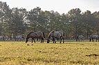 Dülmen, Merfeld, Dülmener Pferde im Merfelder Bruch -- 2018 -- 1661.jpg